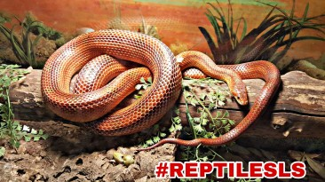 Blood Red Cornsnake