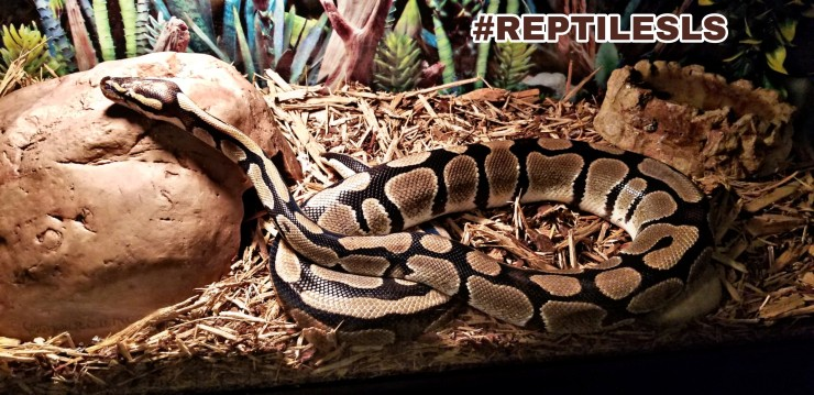 Nagini the Ball Python